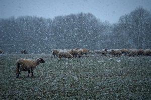Sněží na pasoucí se ovce