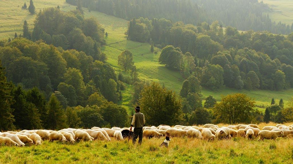 Ovčí stádo na pastvě