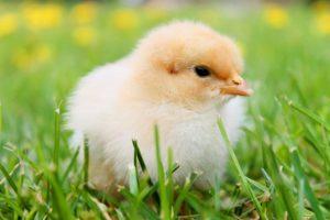 Kuřátko v trávě
